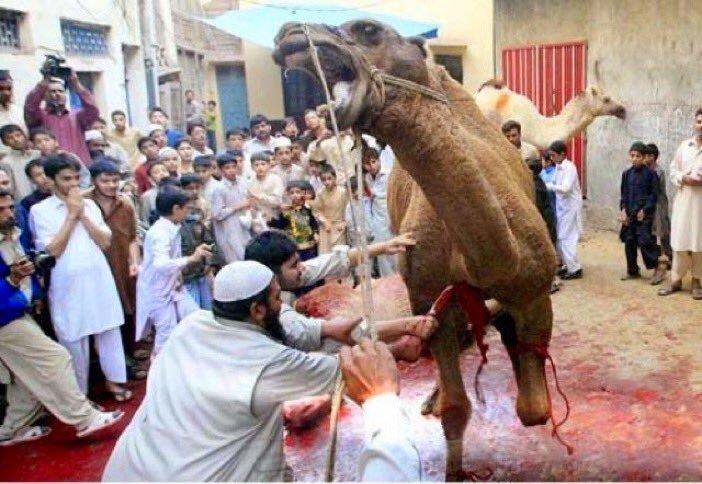 camel-slaughter-halal-3