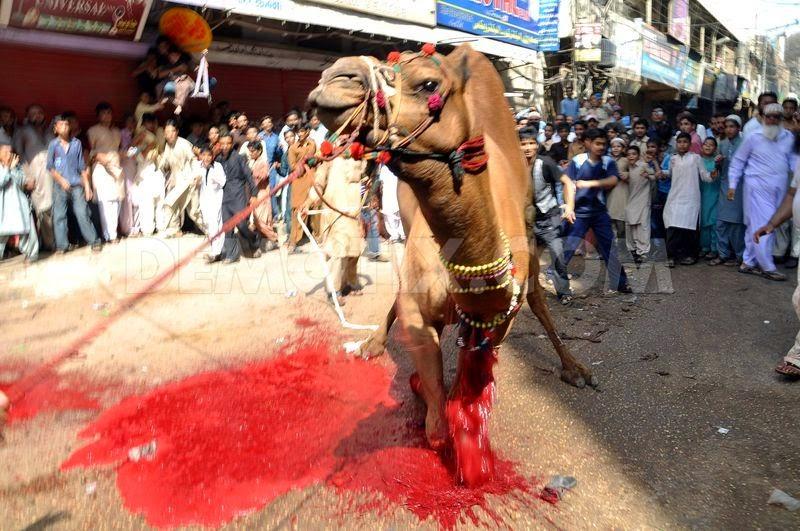 camel-slaughter-halal-4