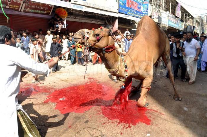 camel-slaughter-halal-5