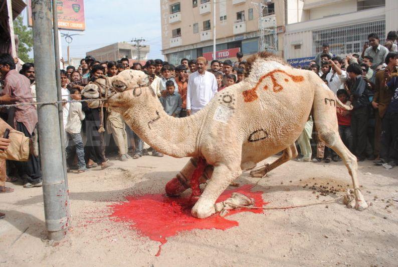 camel-slaughter-halal-6