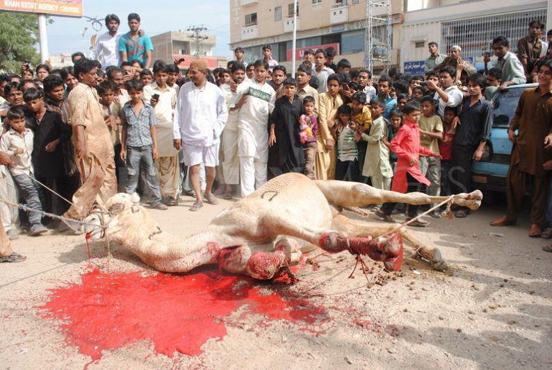 camel-slaughter-halal-7