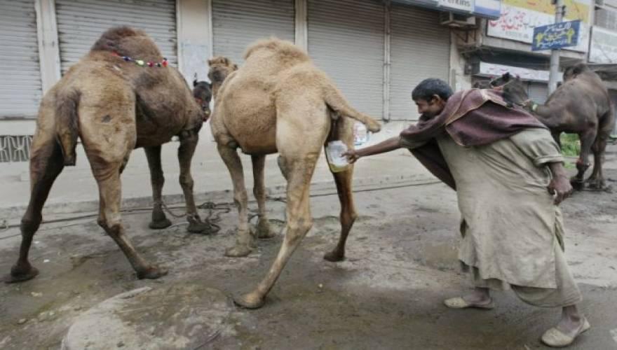 camel-urine-600x401