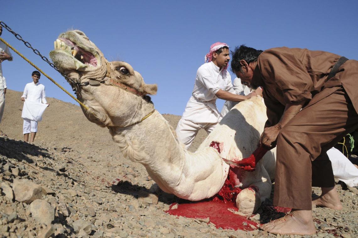 eid-ul-adha-camel-sacrifice