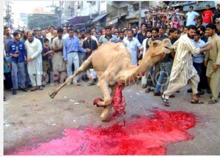 halal-camel-slaughter-falling