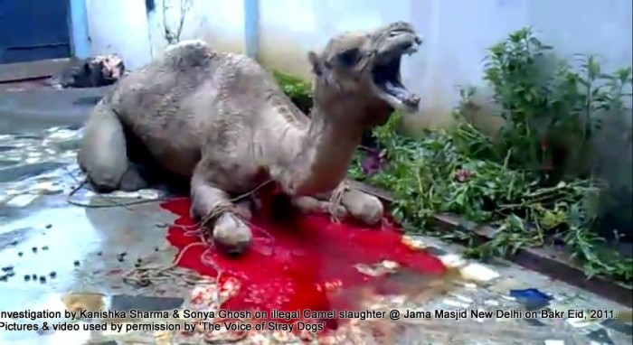 illegal-camel-slaughter-on-bakr-eid-near-jama-masjid-in-new-delhi-1